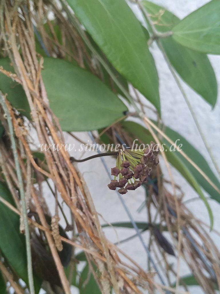 Hoya camphorifolia weitere Knospe